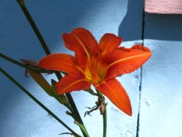 daylily.. by crazygardener