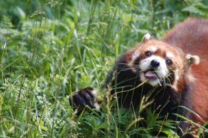 Dopey Red Panda by Fohat