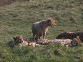2011 - Cheetah cubs 9 by Lena-Panthera