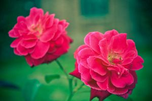 TWIN ROSES by meefro683