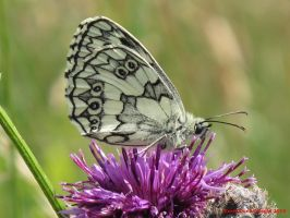 Marbled White by Terrydunk