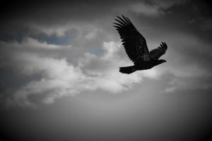 Young Bald Eagle by Joe-Lynn-Design