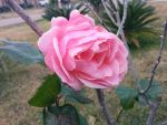 Lopsided Rose by LaEmperatrizMariana
