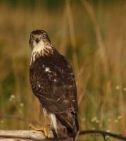 Young Coopers Hawk  pic 2 by natureguy