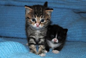 Kittens by LucieG-Stock