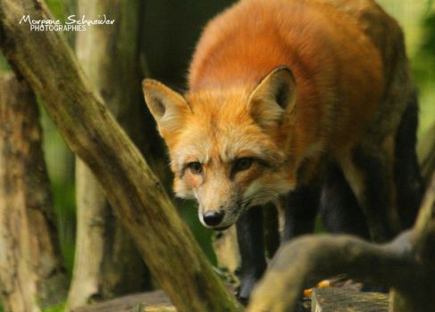 Red fox hunting by MorganeS-Photographe