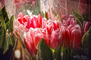 Spring-Tulips by keillly