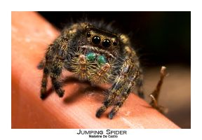 Jumping Spider by livinginoblivion