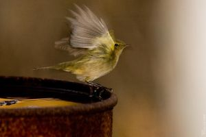 ChiffChaff by geostant
