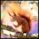 Eurasian Red Squirrel IV by Haufschild