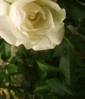 White rose stock 1 by EvilHateYouAllStock