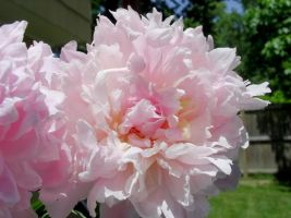 Peonies Stock 9 by Retoucher07030