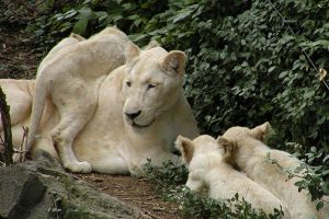 white lion cubs by ronankeating