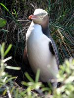Yellow Eyed Penguin 01 by es32