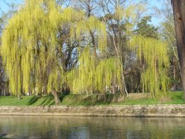 Weeping willow by MsBlackbird