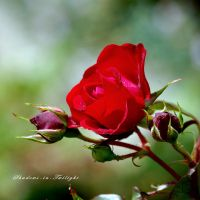 red rose by Shadows-in-Twilight