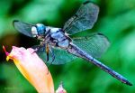Blue Dasher Dragon by FallOut99