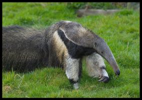Giant Anteater by Wolfy2k4