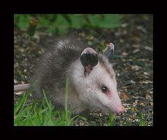 Possum Baby 2 by swashbuckler