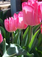 Pink Tulips by theNanna