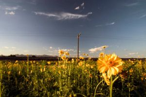 Daisy Field by Delusionist