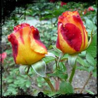 The Rose Garden 5 by cactusmumkate