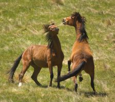 Wild Bay Horses Play Fighting by DWDStock