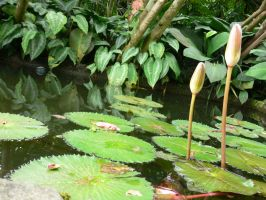 water lily by bumimanusiastock