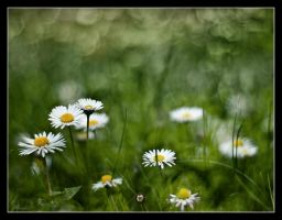 Daisies 4 by Alexandra35