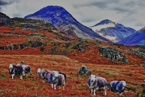 Herdwick Wonderland by Capturing-the-Light