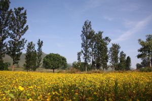araku-yellow-flowers by desig9