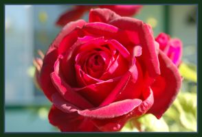 A rose by ForgivenDreamSoul