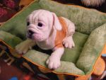 Needle Felted LS English Bulldog Puppy FINISHED by CVDart1990