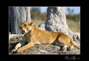 .Lion 3. by duros