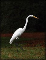 Great White Egret 40D0027833 by Cristian-M