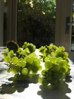 backyard-grapes harvest II by servetej