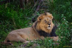 King of Africa by NagWolf