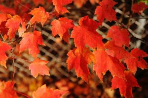 Red Leaves on Fence by froggynaan