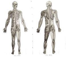 MUSCULAR SKELETAL SYSTEMS by SCT-GRAPHICS