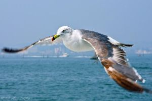 seagull by evenliu