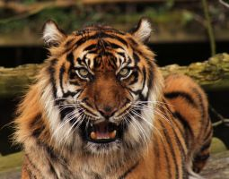 Sumatran Tiger close up 1 by James-Marsh
