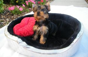 In My Bed I shall stay. by Show-us-Yorkies