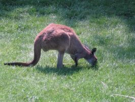 Wallaby 07 by Unseelie-Stock