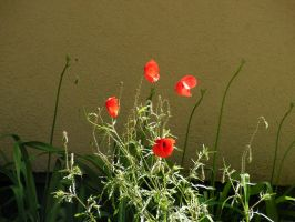 Poppies by Realszoc75