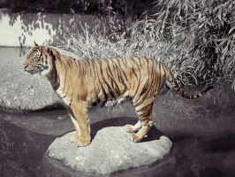 Tiger, Stuttgart I by FGW-Photography