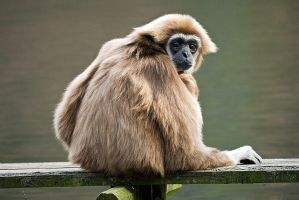 White-handed Gibbon by duncan-blues