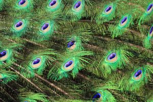 Peacock Colors by sgt-slaughter
