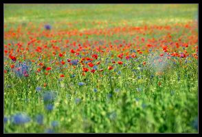 Poppies Wallpaper 02 by adamsik