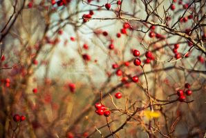 Rose Hips by minnui