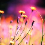 Dandelions by incolor16